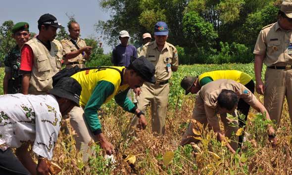 Petani Rembang Panen Raya Kedelai 1,5 Ton Per Hektare