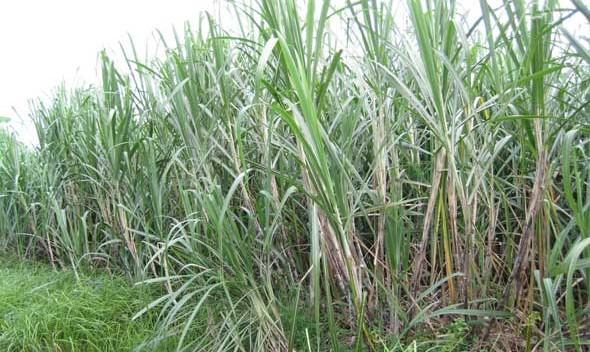 Petani Larikan Tebu 2.250 Hektare ke Gula Merah