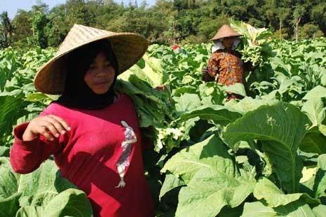Tiga Kecamatan Menyusul Dilarang Tanam Tembakau