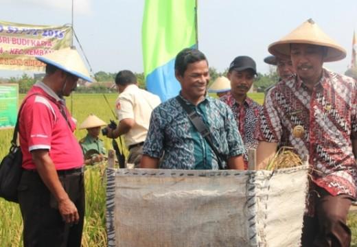 Produktivitas Panen Padi di Rembang Naik Signifikan