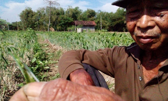 Petani Bawang Merah Kewalahan Perangi Hama Ulat