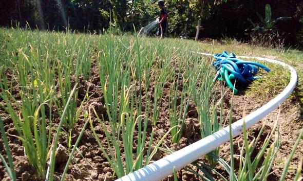 Seorang petani bawang merah di Dusun Tempel Desa Tlogotunggal Kecamatan Sumber menyemprotkan air ke lahan tanamannya, Sabtu (6/6/2015) pagi. Mereka berharap Pemerintah tidak mengimpor bawang merah, agar harga komoditas itu tak terjun bebas. (Foto: Pujianto)