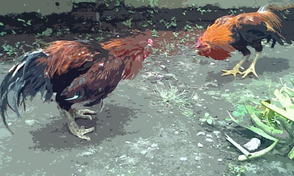 Arena Judi Sabung Ayam Digerebek, 4 Orang Diamankan