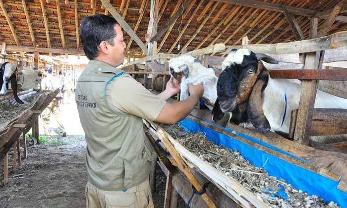 Petugas kesehatan ternak mengecek beberapa kambing kurban menjelang Idul Adha 1435 Hijriah. (Foto: Pujianto)
