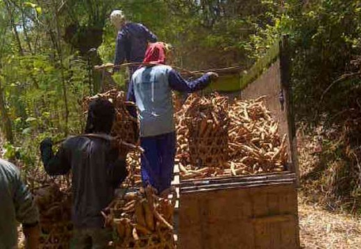 Kemarau Panjang Dongkrak Harga Ketela Petani Rembang