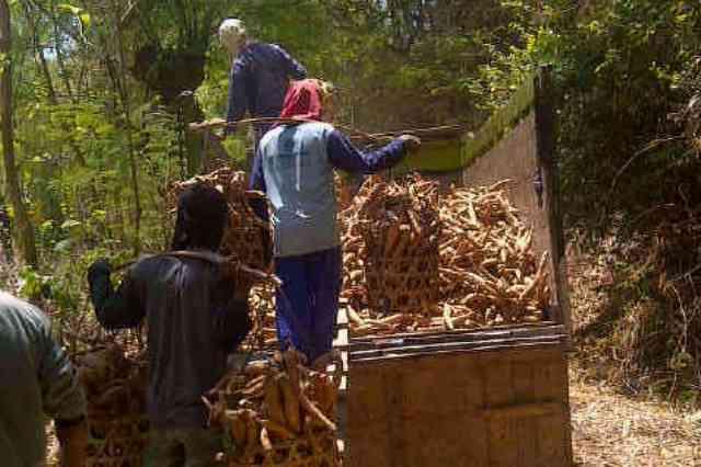 Petani di Desa Padaran Kecamatan Rembang memanen ketela mereka, baru-baru ini. (Foto: mataairradio.com)
