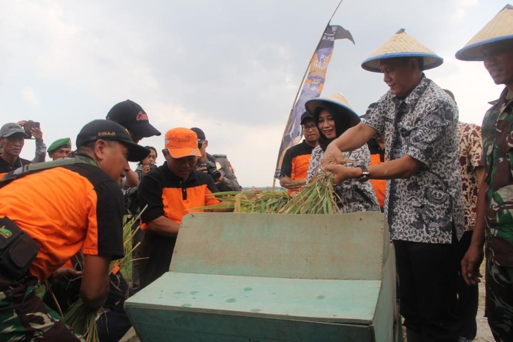 Panen raya padi hibrida di Desa Joho Kecamatan Sale, Kamis (19/11/2015) pagi. (Foto: mataairradio.com)
