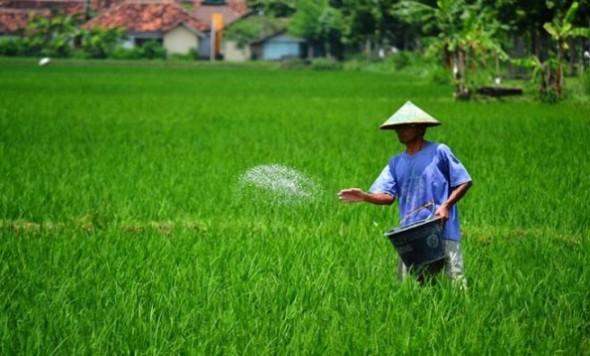 Petani melakukan pemupukan pada tanaman padinya. Dinas Pertanian dan Kehutanan Rembang menganjurkan dosis pemupukan berimbang untuk memelihara unsur hara pada tanah. (Foto: petroganik.com)