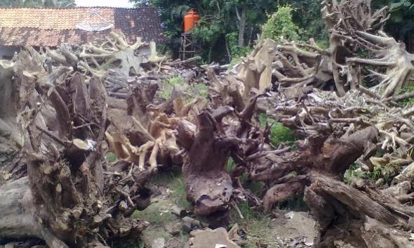Bahan baku berupa limbah akar kayu yang hendak diproduksi menjadi meja, kursi, dan ornamen komoditas ekspor dari Kecamatan Bulu. (Foto: Mukhammad Fadlil)