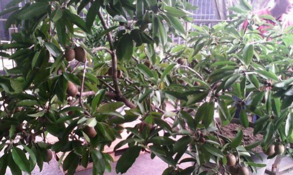 Tabulampot Sawo Rembang Jawara, Durian Kalah Bersaing
