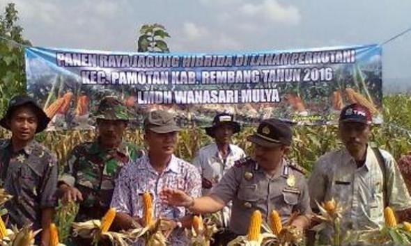 Dukung Swasembada, 150 Hektare Lahan Perhutani Ditanami Jagung