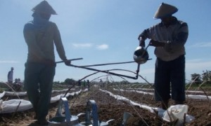Petani menyiram tebaran benih tembakau pada bedengannya, baru-baru ini. (Foto: Pujianto)