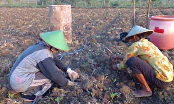 Petani Tembakau Bertambah Tiap Tahun di Rembang