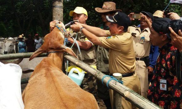 Dukung Swasembada Daging, 60.000 Sapi Ditarget Bunting