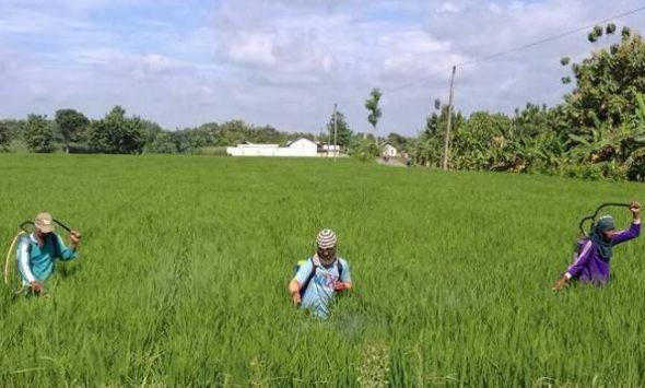 1.500 Hektare Tanaman Padi Rembang Diserang Wereng