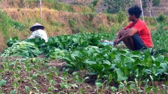 Harga Sayuran Jatuh, Petani Mengeluh