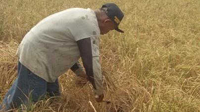 Ratusan Hektare Tanaman Padi Puso di Rembang