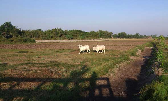 Lagi, Dua Ekor Sapi Petani Sluke Diembat Maling