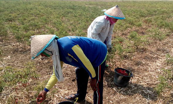 Panen Melimpah, Petani Cabai di Rembang Kelimpungan
